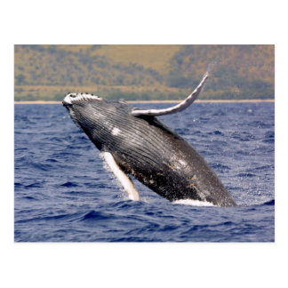 Humpback Whale Splashing Post Cards