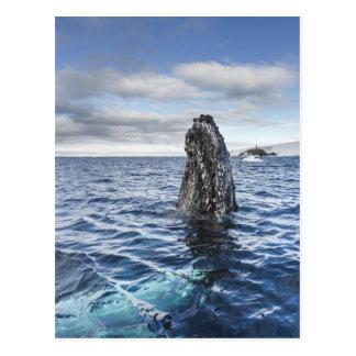Humpback Whale Spyhops | Hope Bay, Antarctica Postcard