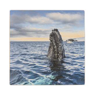 Humpback Whale Spyhops   Hope Bay, Antarctica Wood Coaster