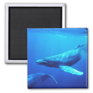Humpback Whale Square Magnet