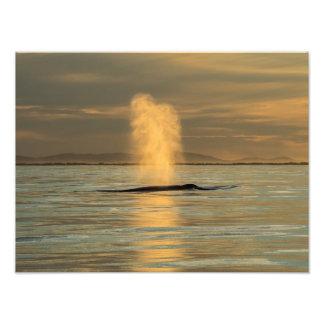 Humpback Whale Sunset Surfers Paradise Photo Print