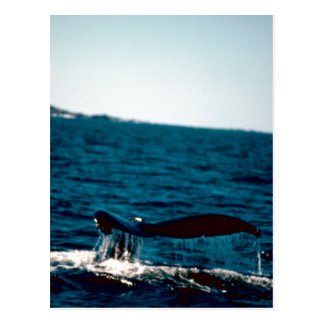 Humpback Whale Tail, Photo by Gary M Stolz, USFWS Post Card