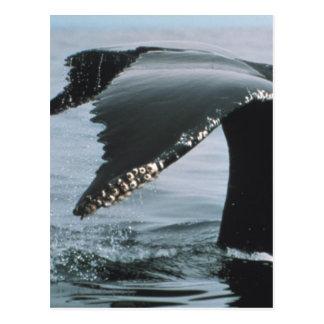 Humpback Whale Tail Postcard