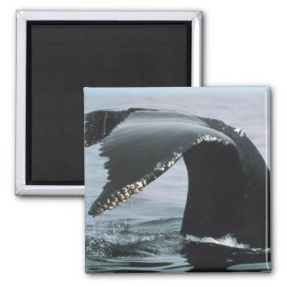 Humpback Whale Tail Square Magnet