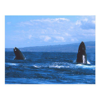 Humpback Whales Jumping Post Cards