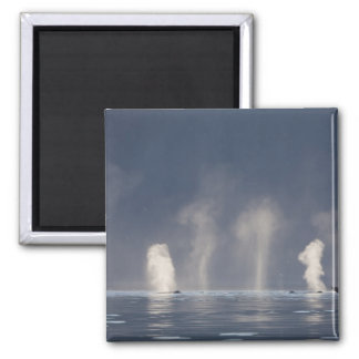 Humpback Whales Megaptera novaeangliae) Magnet