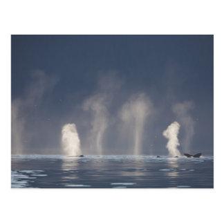 Humpback Whales Megaptera novaeangliae) Postcard