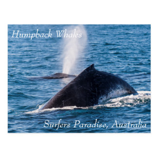 Humpback Whales Surfers Paradise Postcard