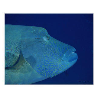Humphead Wrasse 2 Poster