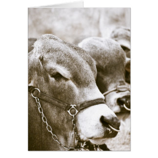 Hunchback Cows Cards