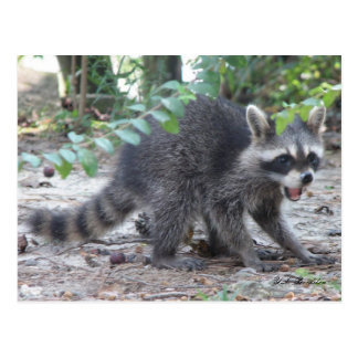 Hungry Baby Raccoon Postcard