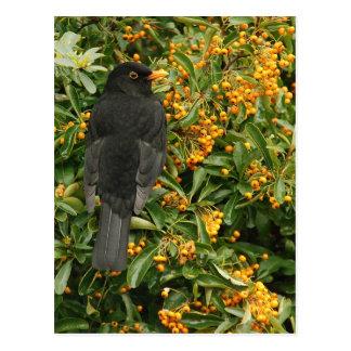 Hungry blackbird postcard