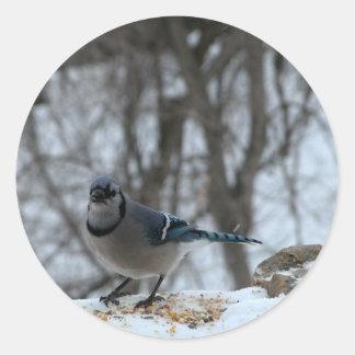 Hungry Blue Jay Sticker