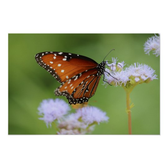 Hungry Monarch Butterfly Poster