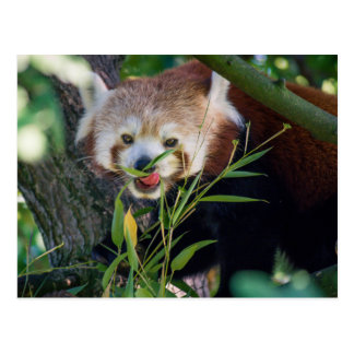 hungry Red panda Postcard