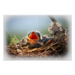 Hungry Tree Swallow Fledgling In Nest Print