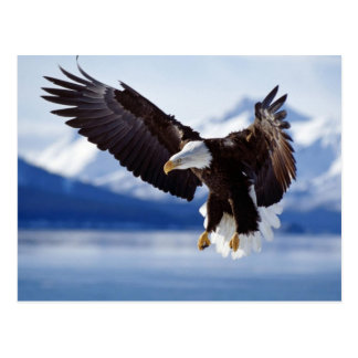 Hunting Bald Eagle Postcard
