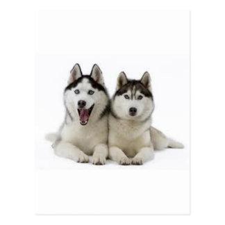 Huskies Postcard