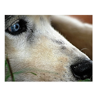 Husky Blue Eyes Siberia Postcard