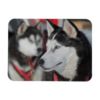 Husky dog before a race, Canada Rectangular Photo Magnet