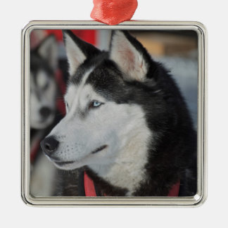 Husky dog before a race, Canada Silver-Colored Square Decoration