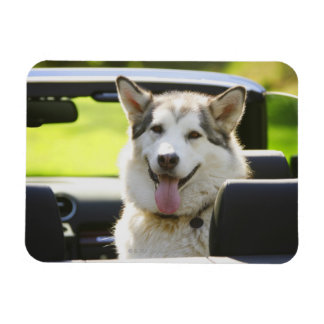 Husky dog from convertible magnet
