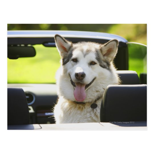 Husky dog from convertible postcard