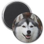 Husky Dog Magnet