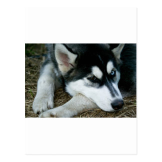 Husky Dog Postcard