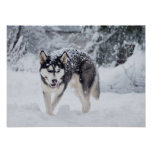 Husky in the snow poster