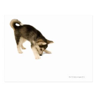 Husky Puppy 2 Postcard