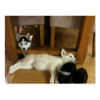 Husky pups postcard