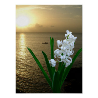 Hyacinth Flower in Full Bloom Poster