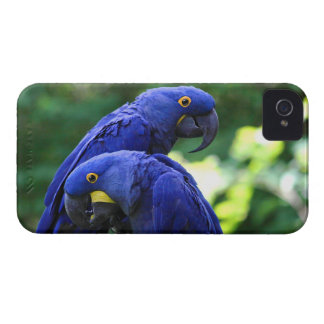 Hyacinth Macaws Case-Mate iPhone 4 Cases