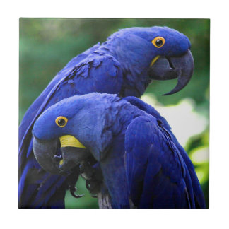 Hyacinth Macaws Small Square Tile