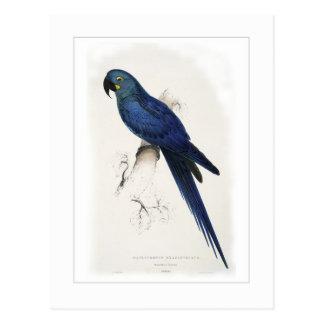 Hyacinthine macaw postcard
