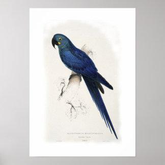 Hyacinthine macaw poster
