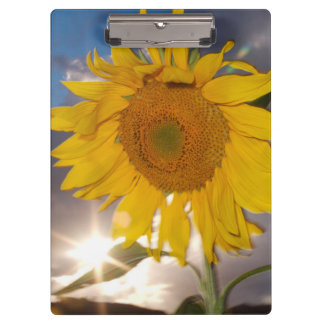 Hybrid sunflower blowing in the wind at dusk clipboard