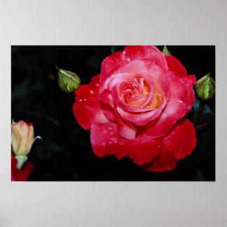 Hybrid Tea Rose Brigadoon White flowers Poster