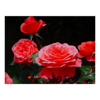 Hybrid Tea Rose Candleabra Posters