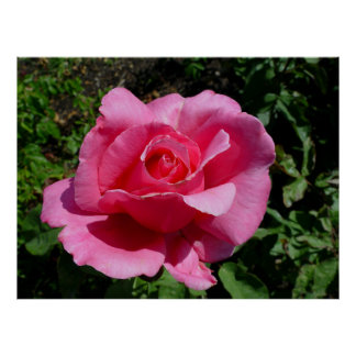Hybrid Tea Rose Century Two Posters