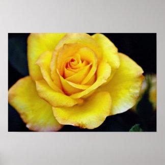 Hybrid Tea Rose flowers Poster