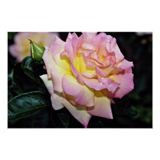 Hybrid Tea Rose Peace White flowers Print