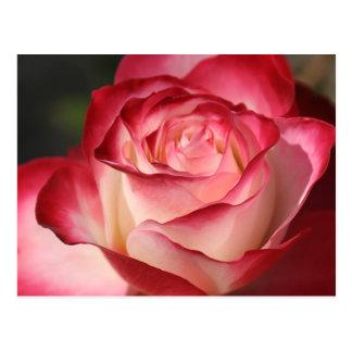 Hybrid Tea Rose Post Card