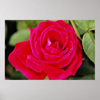 Hybrid Tea Rose White flowers Poster