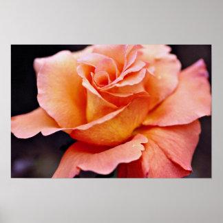 Hybrid Tea Rose White flowers Print