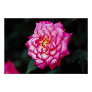 Hybrid Tea Rose Yellow flowers Poster