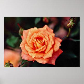 Hybrid Tea Rose Yellow flowers Posters
