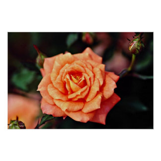 Hybrid Tea Rose Yellow flowers Posters