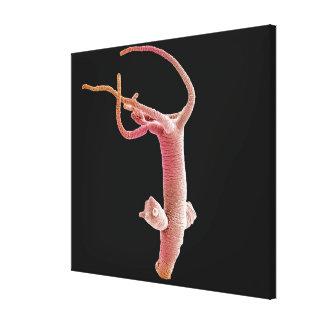 Hydra Littoralis Canvas Print